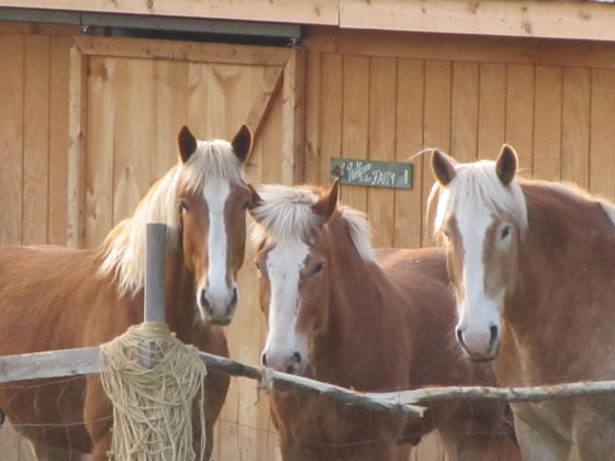 Mainely Drafts Belgian Draft Horses
