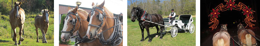 carriage horses, draft horses and carriage rides